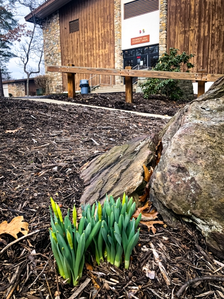 daffodils springing up in front of founders hall